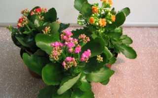 Как ухаживать за цветком каланхоэ в домашних условиях