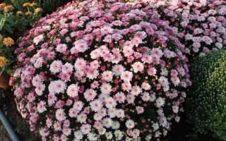 Осенняя посадка хризантем: обрезка и уход за кустами осенью