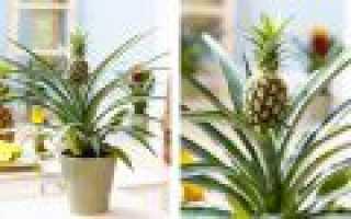 Как в домашних условиях посадить ананас из верхушки