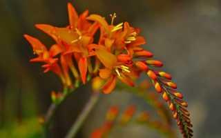 Крокосмия люцифер: посадка и уход за цветком