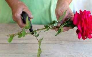 Размножение роз черенками в домашних условиях