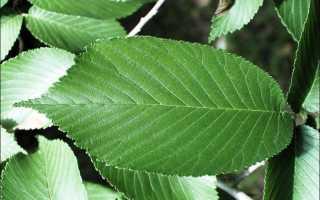 Описание дерева вяз и его разновидностей
