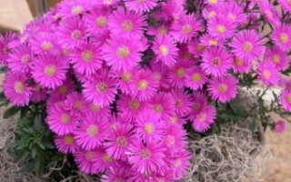 Размножение и посадка сентябринок, уход за цветами
