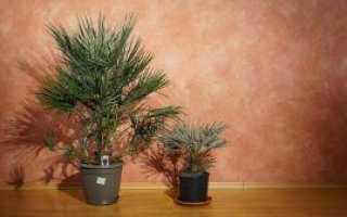 Выращивание пальмы хамеропс в домашних условиях