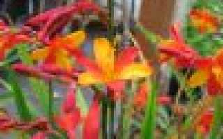Монтбреция: описание и виды, посадка и уход в открытом грунте