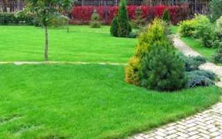 Газонная трава мятлик луговой, описание растения