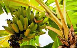 Как можно посадить и вырастить банан в домашних условиях