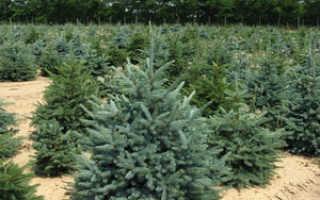 Описание елки, выращивание дерева и уход за ним