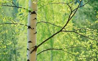 Описание берёзы: виды дерева, где растет, полезные свойства