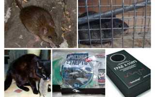 Борьба с мышами: методы, средства и приспособления