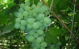 Виноград Лора: описание сорта, обрезка винограда Лора