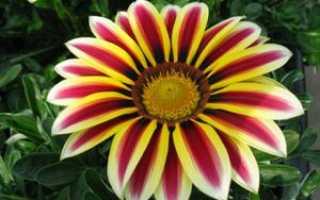 Садовые цветы, похожие на ромашки, их внешний вид и названия