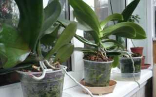 Как правильно посадить орхидею в домашних условиях