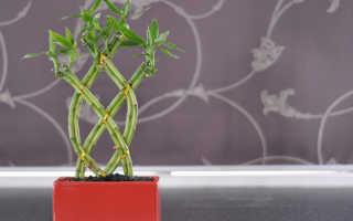 Уход за комнатным растением бамбук в домашних условиях
