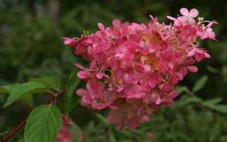 Как правильно укрыть садовую гортензию на зиму