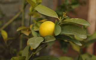 Как в домашних условиях вырастить комнатный лимон