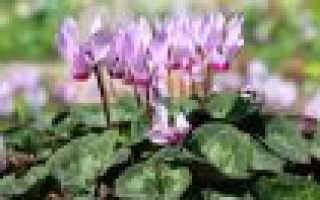 Уход за цветком цикломенией после цветения