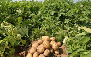 Описание и характеристика лучших сортов картофеля в России