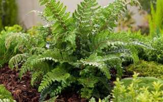 10 лучших папоротников для цветников и рабаток