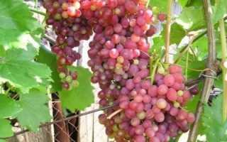 Характеристика винограда кишмиш Лучистый