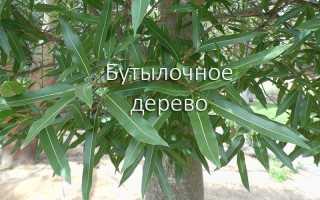 Брахихитон — король бутылочных деревьев