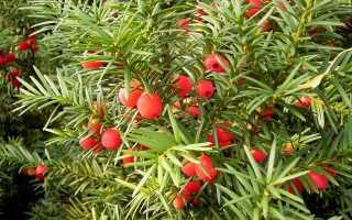 Описание и виды хвойного растения тис
