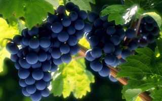 Правильная подготовка винограда к зиме в средней полосе