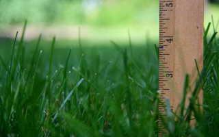 Райграс многолетний: описание, выращивание и применение травы