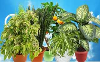 Ядовитые для человека комнатные растения и цветы