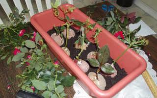 Как вырастить розу из черенка в домашних условиях