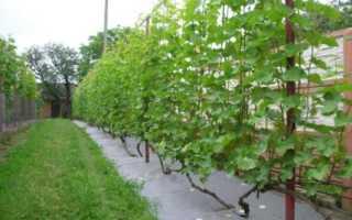 Выращивание винограда в средней полосе: советы для начинающих