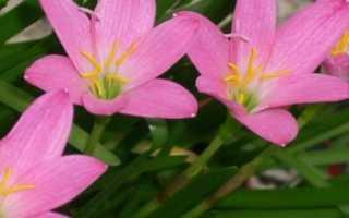 Особенности ухода за цветком-выскочкой в домашних условиях