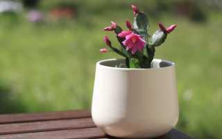 Уход за цветком рипсалидопсис в домашних условиях