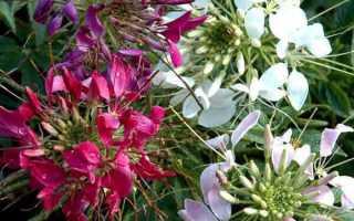 Клеома — цветок-паук