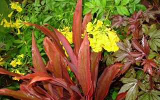 Правильный уход за комнатным домашним растением кордилина