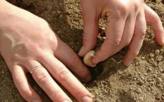 Особенности посадки озимого чеснока осенью