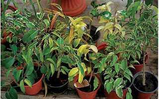Фикус: популярные разновидности комнатного цветка