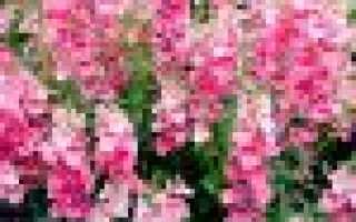 Цветок Диасция (diascia) – посадка и уход в саду