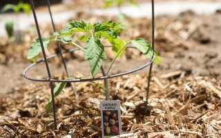 Агротехника высадки рассады томата