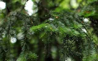 Пихта: описание и характеристики, где растет дерево