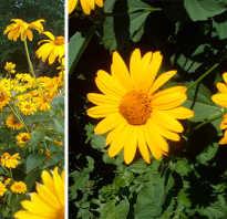 Гелиопсис — солнышко в цветнике