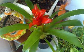 Как ухаживать и размножать бромелию микс в домашних условиях