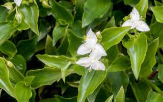 Размножение и уход за комнатным цветком традесканция