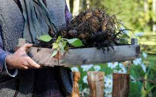 Зимнее хранение корней георгинов после выкопки