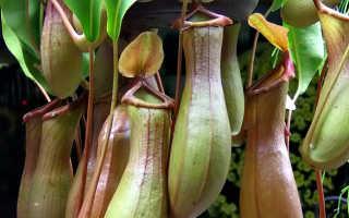 Непентес — выращивание хищного растения в домашних условиях
