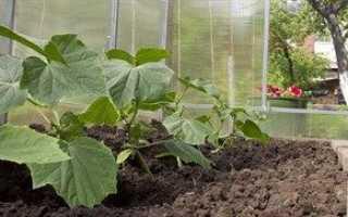 Самостоятельное выращивание огурцов в теплице