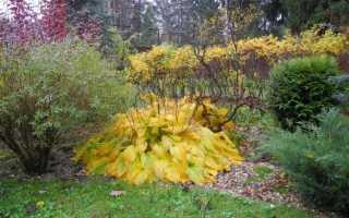 Правила ухода за хостой осенью и подготовка растения к зиме