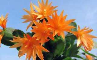 Хатиора: описание и уход за цветком в домашних условиях