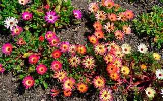 Выращивание из семян цветка мезембриантемума, посадка и уход