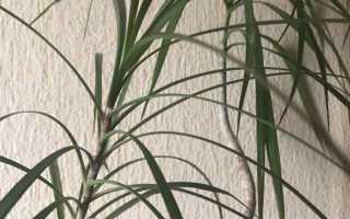 Драцена — ложная пальма